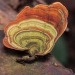 Mycotherapie-Elfenbankje